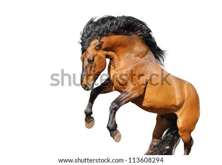 wild horse rears on white - stock photo