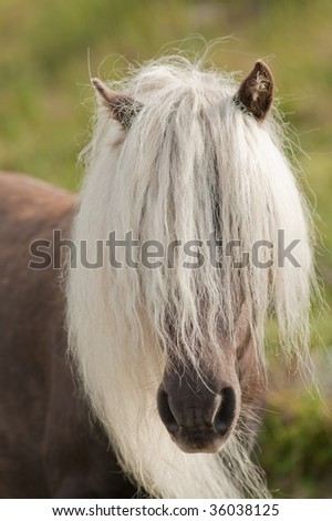 wild horse with lang mane in the field at Grayson Highlands State Park in Virginia, USA - stock photo