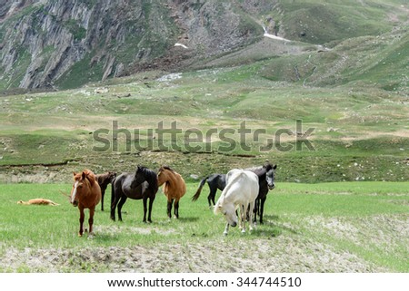 wild horses grazing near a forest and mountains in Kashmir, India. - stock photo