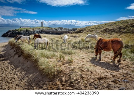 Wild horses grazing on Llanddwyn Island, a peninsula on Anglesey. Newborough, Anglesey, Wales, United Kingdom