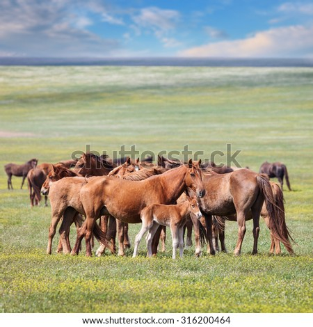 Wild horses in a field under a blue sky with clouds - stock photo