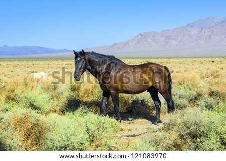 wild horses in the prairie in the old  abandonned small village of Death valley junction,  an old Borax Mining  east of the Death valley - stock photo