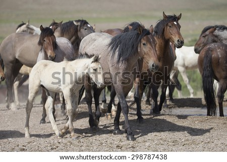Wild horses of the Great Basin Desert in Utah USA - stock photo