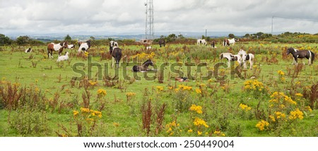 Wild horses on a meadow in Ireland.  Young horses on a meadow. Summer time. Nature and animals. Nobody, country side, horsemanship, horse riding - stock photo