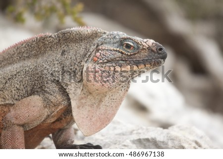 Wild Iguana Sitting on Rock on a Desert Island in the Caribbean, Narrow Depth of Field, Intentionally Blurry Background