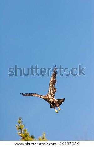 Wild Immature Bald Eagle Taking Off - stock photo