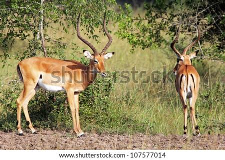 Wild Impalas (Aepyceros melampus) near Lake Victoria in Uganda, Africa - stock photo