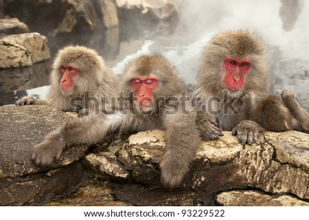 wild japanese snow monkeys or macaque soaking up the warmth in the onsen,nagano,jigokudani,japan - stock photo