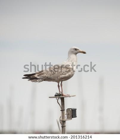 Wild juvenile herring gull larus argentatus seabird stood on top of boat mast in harbour - stock photo
