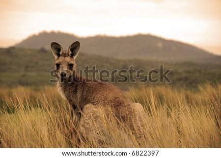 Wild kangaroo in outback - stock photo
