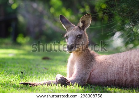 wild kangaroo laying on grass - stock photo