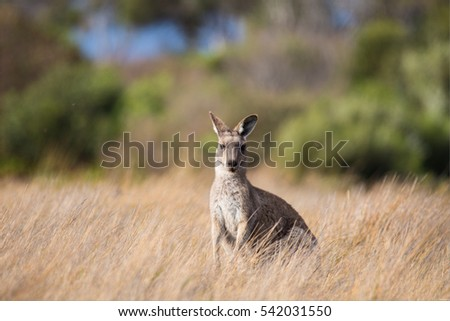 wild kangaroo standing in the middle of bushes , Wilson Promontory National Park, Victoria , Australia
