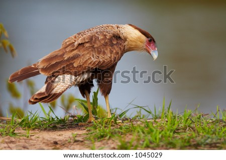 Wild karakara falcon, Pantanal, Brazil - stock photo