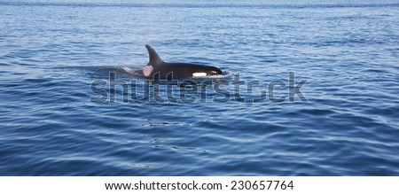 Wild killer whales breaching in the ocean outsde of Vancouver Island British Columbia Canada - stock photo