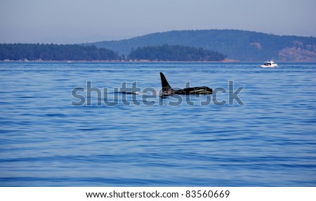 Wild killer whales breaching in the ocean outside of Vancouver Island British Columbia Canada