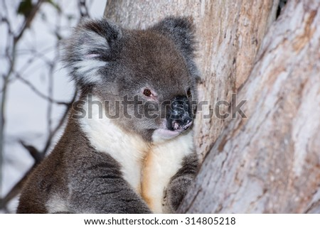 Wild koala on a tree portrait - stock photo