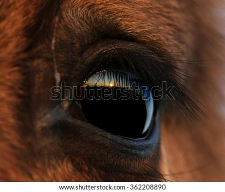 Wild Konik horse eye closeup - stock photo