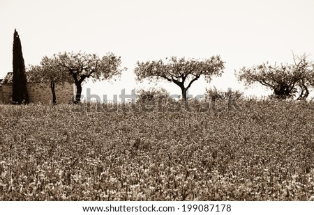 Wild lavender field and old farmhouse, three olive trees and cypress at backgrounds in Provence (France). Aged photo. Sepia. - stock photo