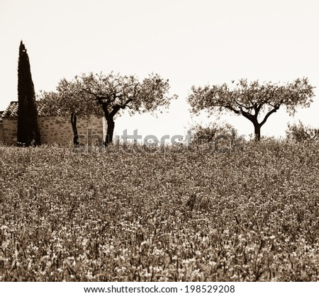 Wild lavender field and old farmhouse, two olive trees and cypress at backgrounds in Provence (France). Aged photo. Sepia. - stock photo