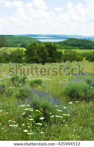 wild lavender flowers in nature