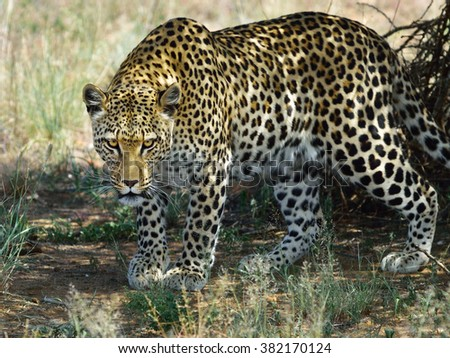 Wild leopard in aggressive pose under bush ready for attack. African Savanna, Namibia - stock photo