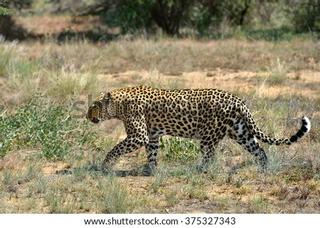 Wild leopard In the African Savannah, Namibia