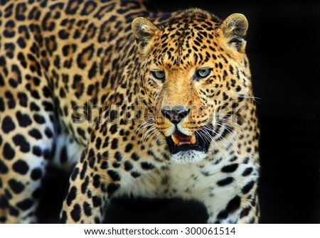 Wild Leopard in the tropical African savanna