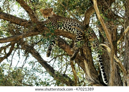 Wild leopard lying in wait atop a tree in Masai Mara - stock photo