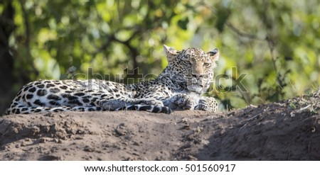 Wild Leopard (Panthera pardus) Resting on a River Bank in South Africa