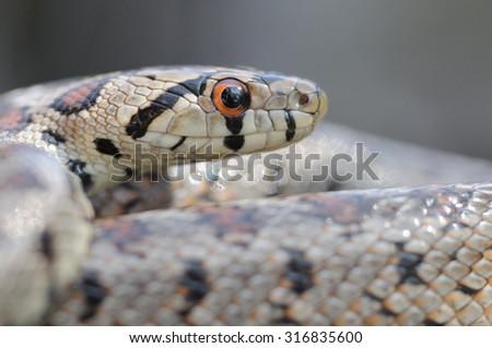 Wild leopard snake (Zamenis situla) portrait  - stock photo