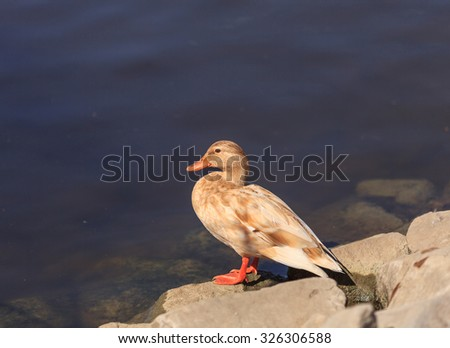 Wild light yellow Mallard duck, Anas platyrhynchos, at the edge of a pond - stock photo