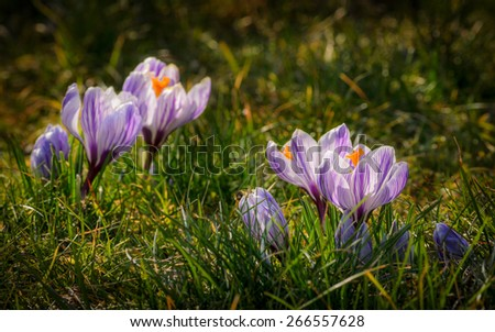 wild lilac crocus flowers in the spring - stock photo