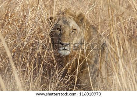 Wild lion in the African Savannah, Tanzania - stock photo