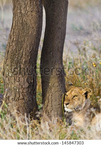 Wild lion in the Tanzanian Serengeti