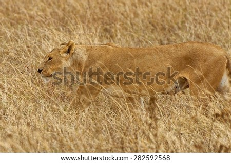 Wild lioness stalking her prey on a grassland in Africa - stock photo