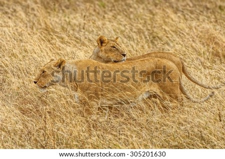 Wild lionesses stalking their preys on a grassland in Africa - stock photo