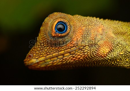 Wild lizard at tropical forest in Pahang, Malaysia - stock photo