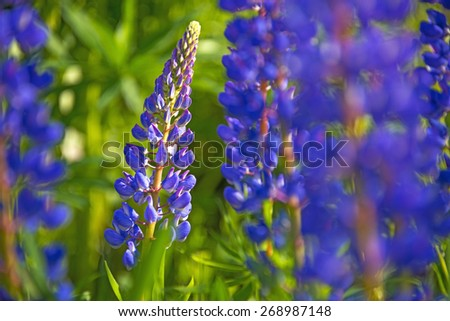 Wild lupines flowers in detail - stock photo