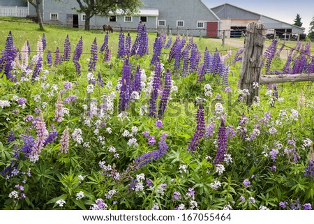 Wild lupins and phlox growing along the side of the road in Clinton, Prince Edward Island. - stock photo