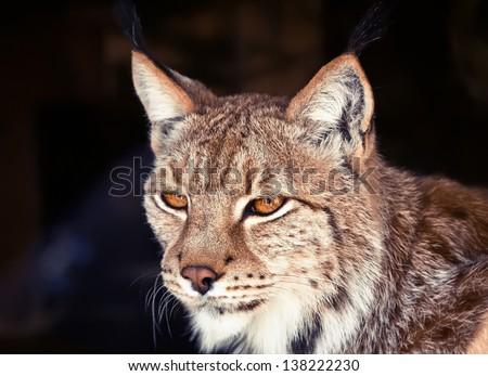 wild lynx - stock photo