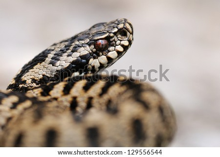 Wild male european adder (Vipera berus berus) - stock photo