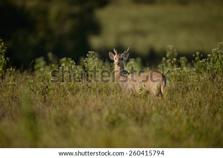 Wild male hog deer in the forest of Phukheo Sunctuary, Thailand - stock photo