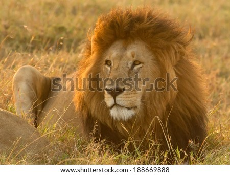 wild male lion resting in tall grass on a sunny day, Masai Mara, Kenya