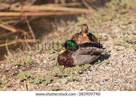 Wild Mallard duck bird, Anas platyrhynchos, at the edge of a pond in Southern California, United States