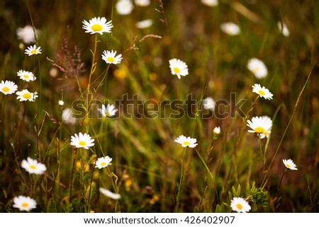 wild meadow chamomile on yellow sunset background