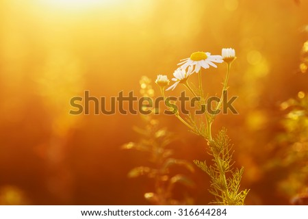 wild meadow chamomile on yellow sunset background. Autumn nature