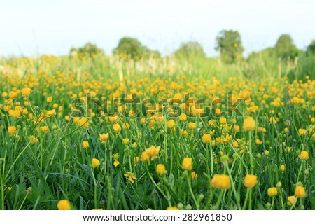 Wild meadow with buttercups - stock photo