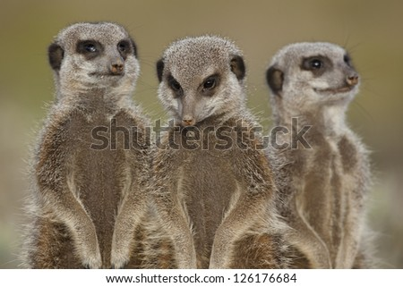Wild meerkats (aka suricates), Karoo, South Africa - stock photo