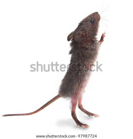 wild mice animal gray mouse rat standing on its hind legs sniffing isolated - stock photo