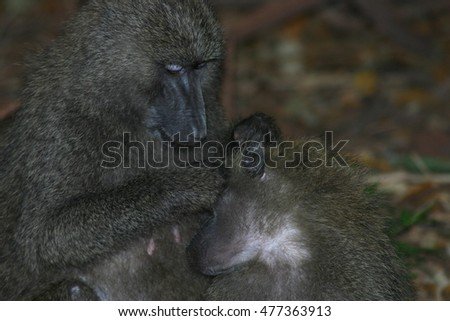 Wild monkey Africa field mammal animal